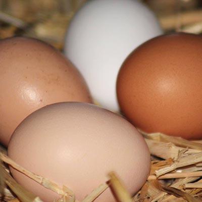 Aralea - Kinderboerderij Mikerf - eieren