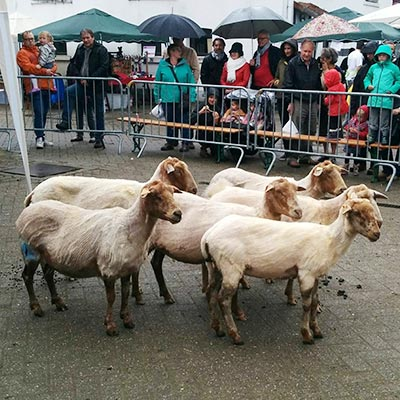Aralea - Kinderboerderij Mikerf - schaapscheerfeest - laat je eigen schapen scheren